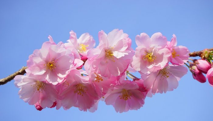 Sakura Fantasy