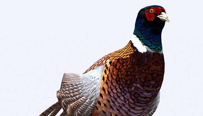 3DRT – Pheasant