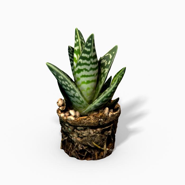 Gasteria Cactus Plant – Photoscanned PBR
