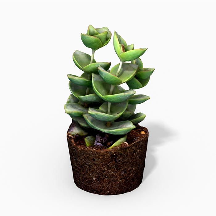 CrassulaMoonglow Cactus Plant – Photoscanned PBR