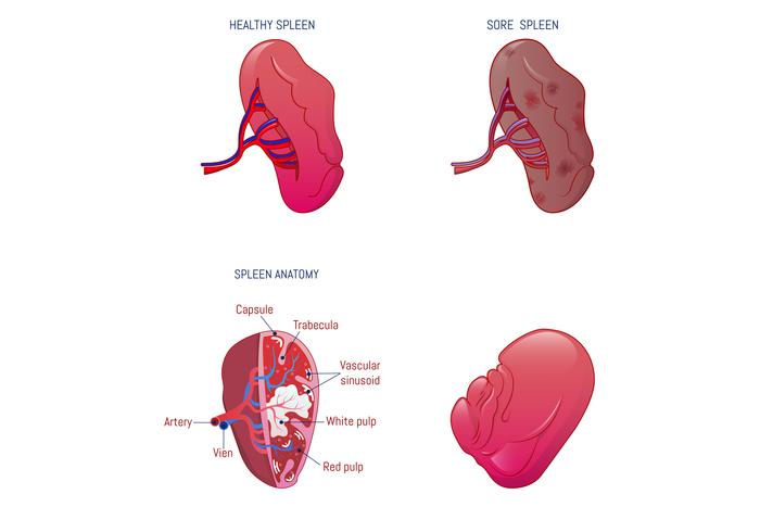 Spleen milt anatomy icons set, cartoon style