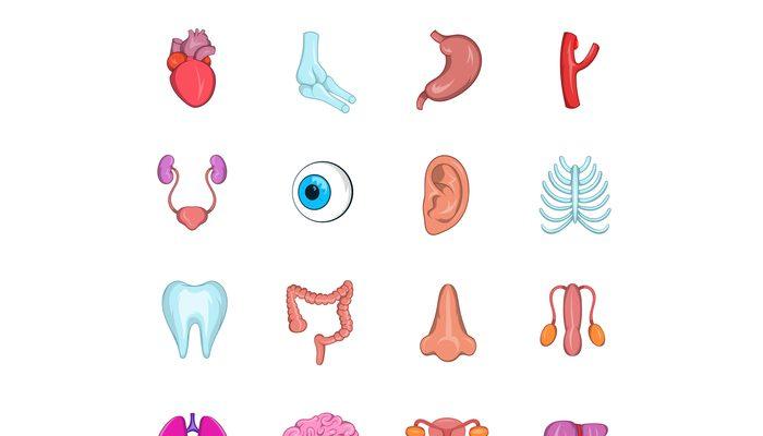 Internal organs icon set