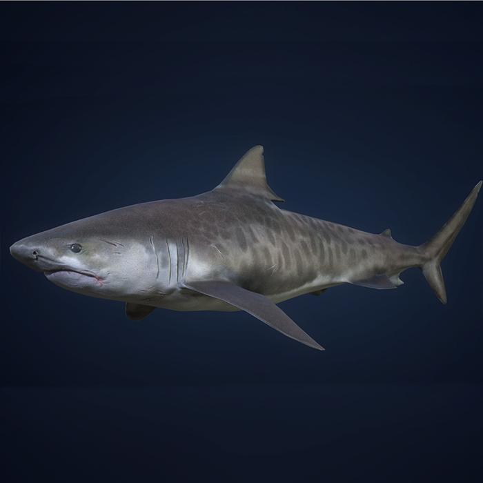 Tiger Shark – Game Ready